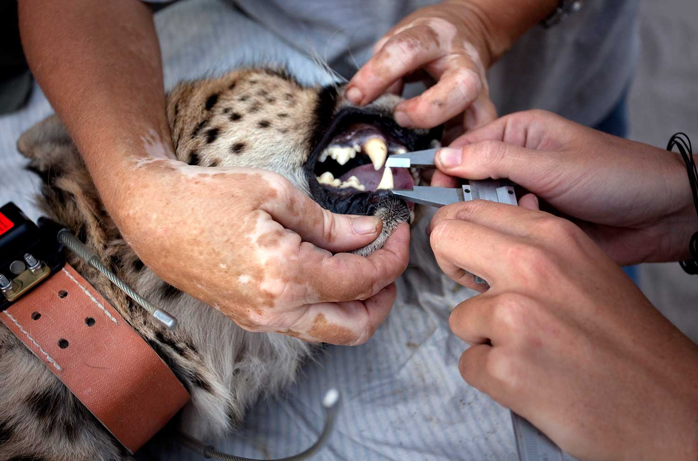 Cheetah Conservation Botswana team collars a wild cheetah on farmland in the Kalahari. While anesthetized, she is given a full health checkup.