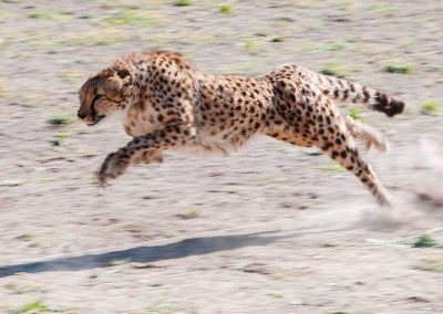 0 to 60mph in 3 seconds. 3 strides per second at 26 ft per stride. 70 mph at its top speed… the fastest land animal in the world.