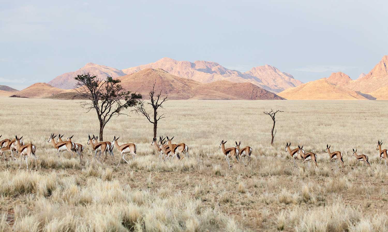 In cheetah country, an abundance of springbok in Namibia, the cat's preferred dinner menu.