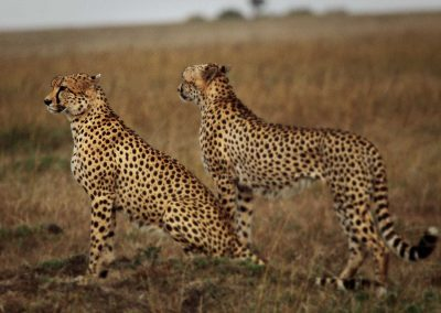 Male cheetahs will form coalitions and stay together for life whereas females are solitary, raising their cubs until 18 months when the grown cubs then disperse and form their own territories.