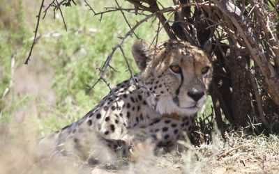 The Return of the Cheetah
