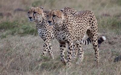 The Cheetah, the Maasai & the Tourist