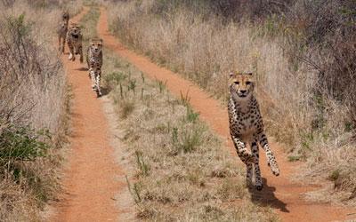 The Cheetah Think Tank